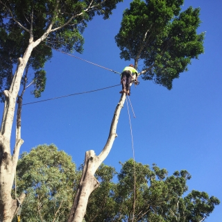 Large fig removal - Kelmscott