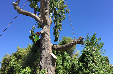 Tree Lopping